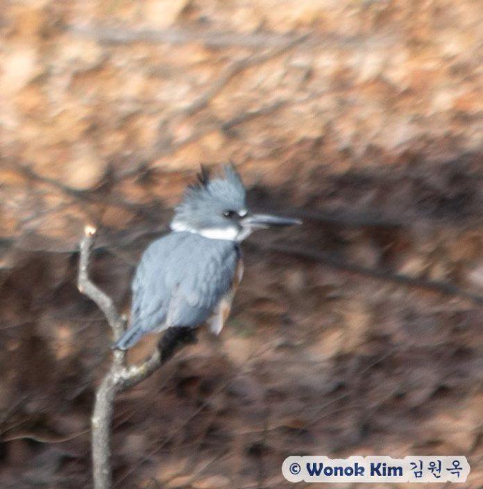 Belted Kiingfisher